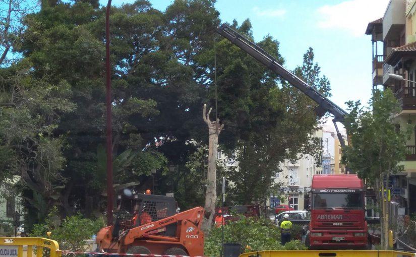 La falta de control de CC está acabando con algunos de los árboles más emblemáticos de La Orotava
